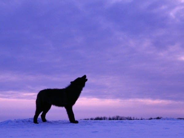 TWISTED NEWS – Wolf Attacks Snowmobiler in Alaska